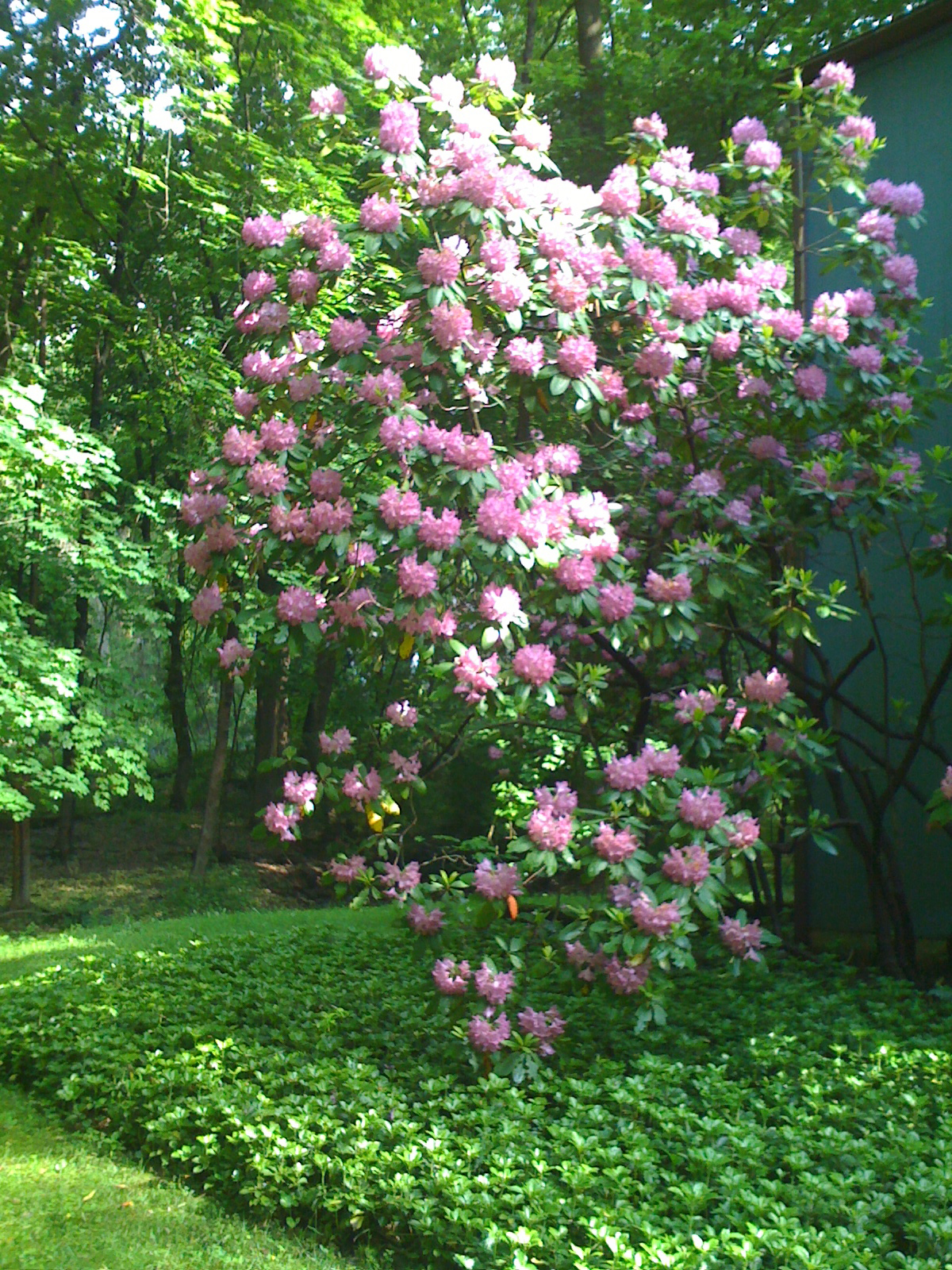 The big rhododendron in all its glory.