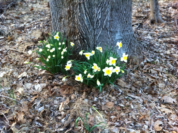 Some early spring daffodils under a tree.