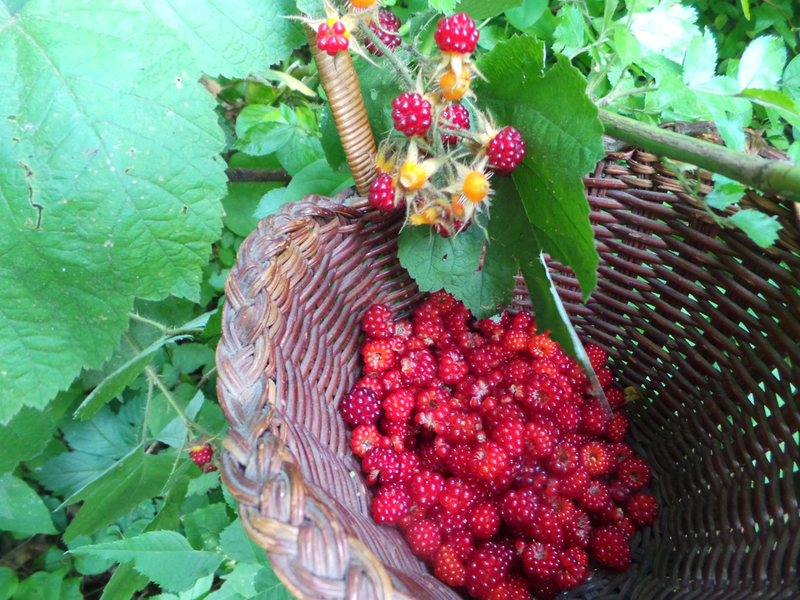 Part of this year's harvest of sticky red raspberries. Wild and sweeter than honey.