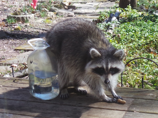 A raccoon framed by the glass door.