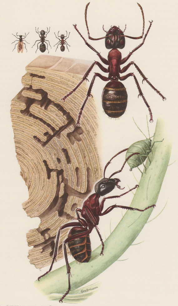 A botanical drawing of ants.