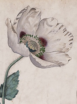 Botanical drawing of a poppy.