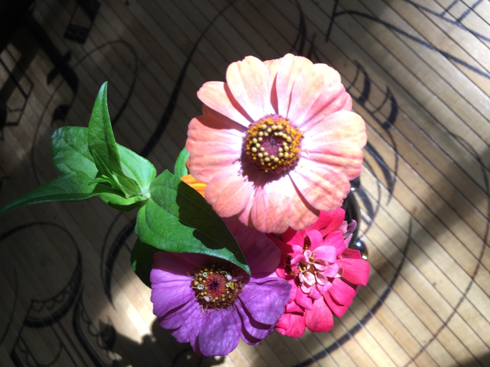Some pretty zinnias in the sunlight.